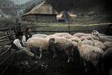 Дойка овец
