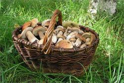 Хороший урожай дикорастущих грибов в Польше