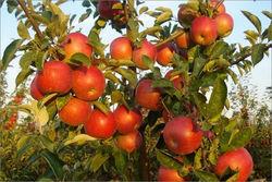 В Польше наблюдается бум закладки яблочных садов